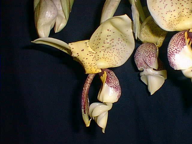 Stanhopea insignis 2
