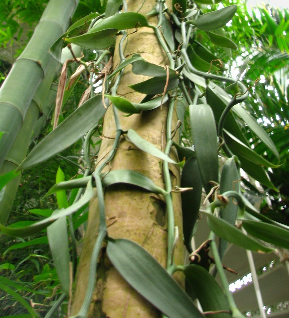Vanilla planifolia 3