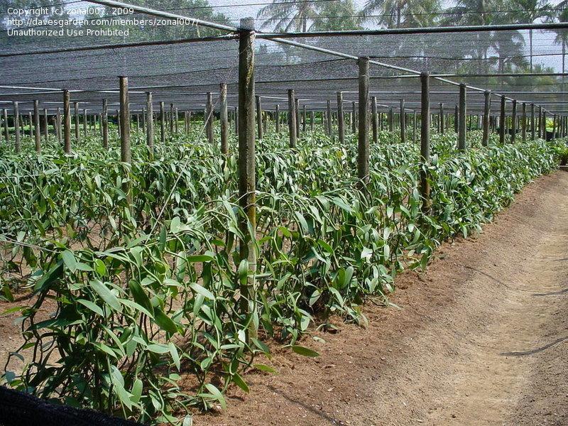 Vanilla planifolia 4