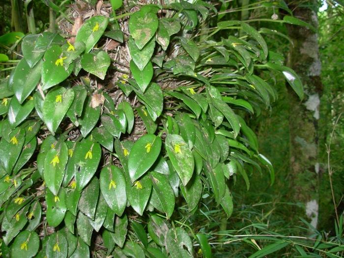 Acianthera luteola 2