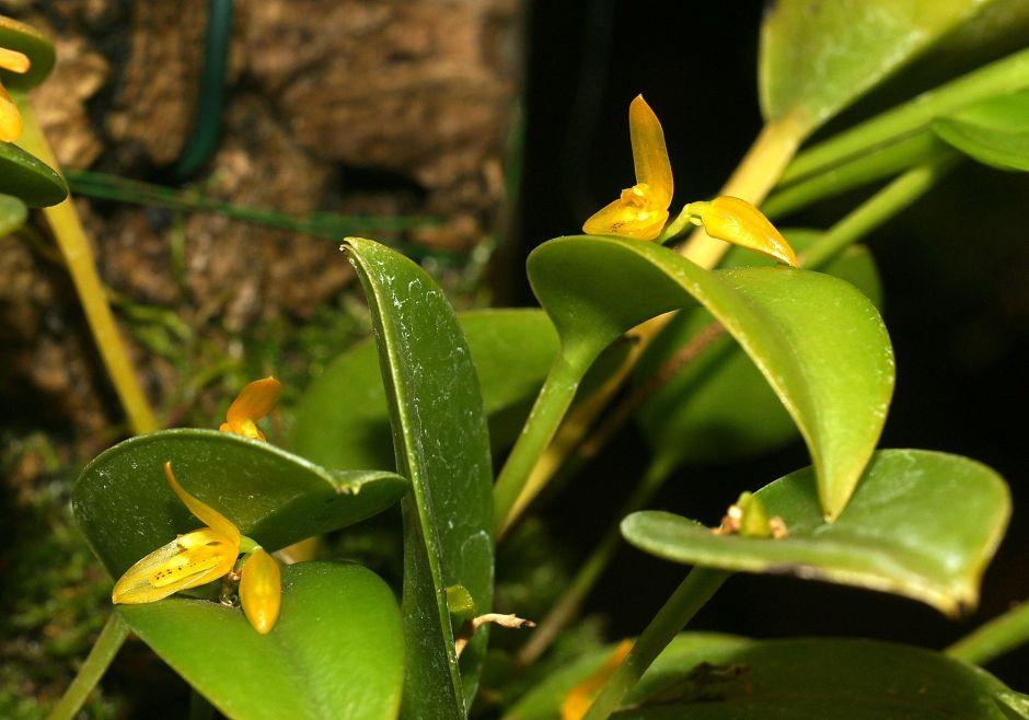 Acianthera luteola 3
