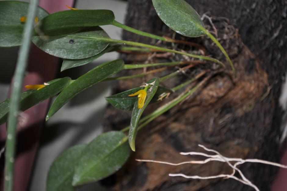 Acianthera luteola 6