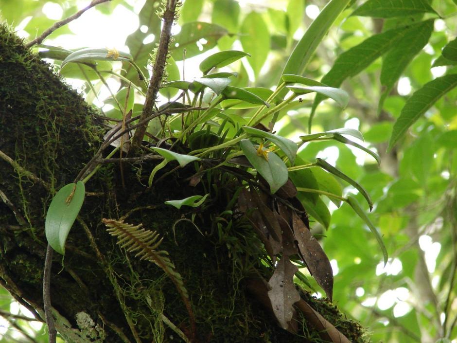 Acianthera luteola 7