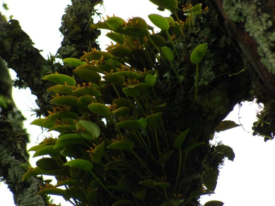 Acianthera luteola 8