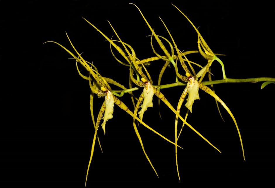 brassia-lawrenceana-2