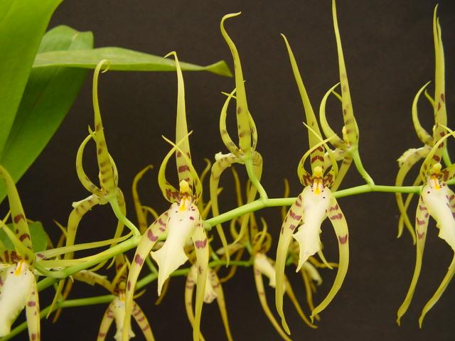 brassia-lawrenceana-5