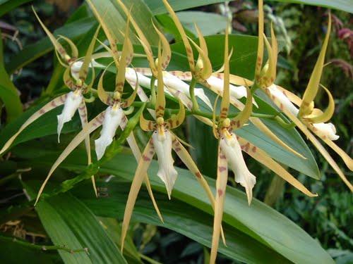 brassia-lawrenceana-6