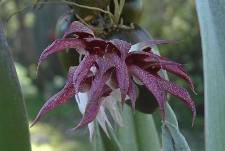 bulbophyllum-fletcherianum-1