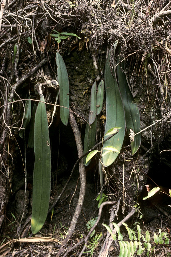 bulbophyllum-fletcherianum-10