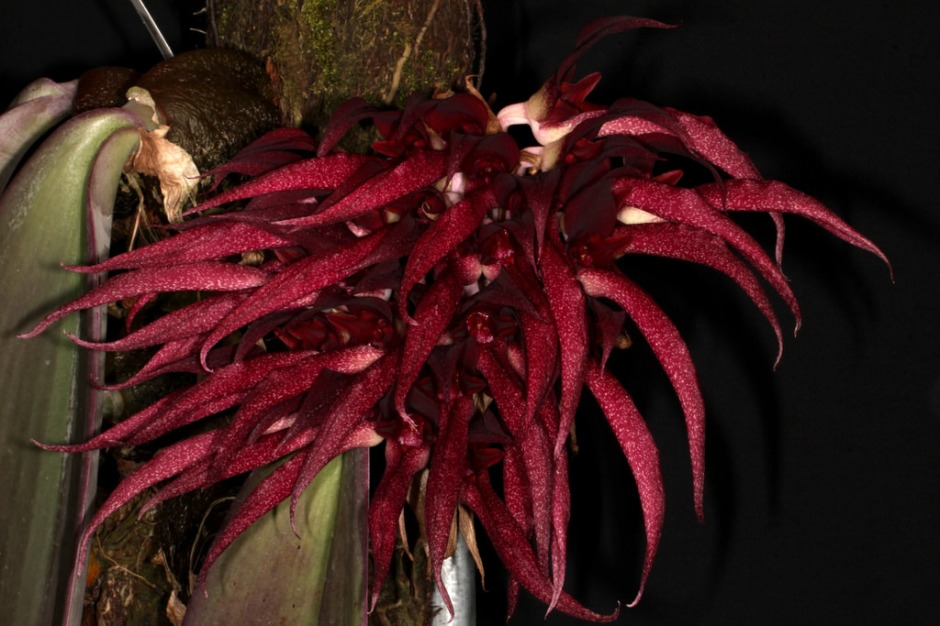 bulbophyllum-fletcherianum-11