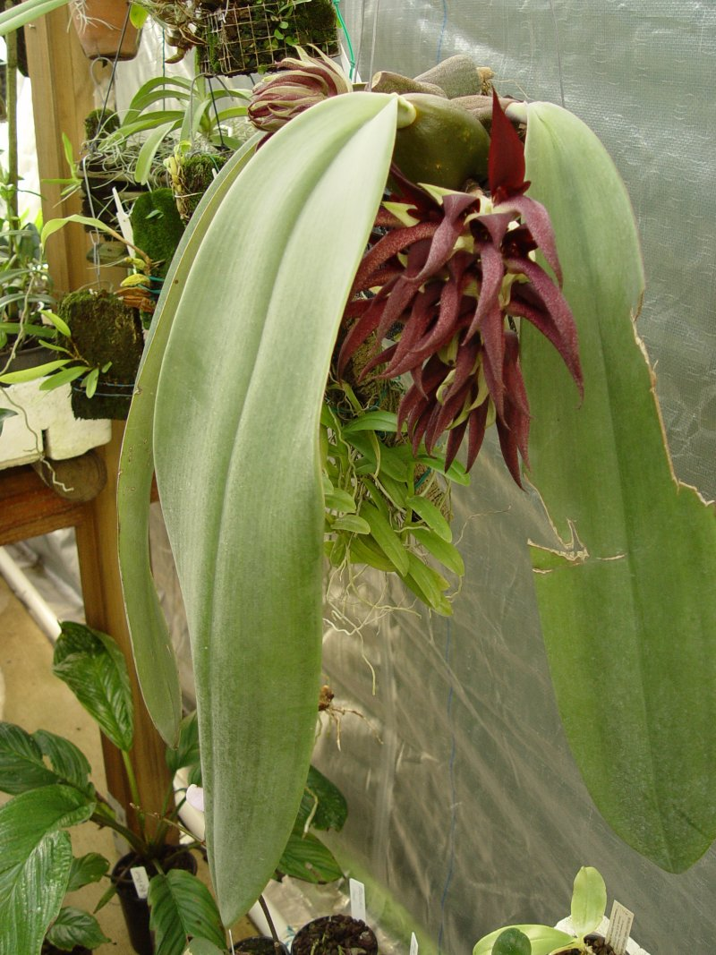 bulbophyllum-fletcherianum-4