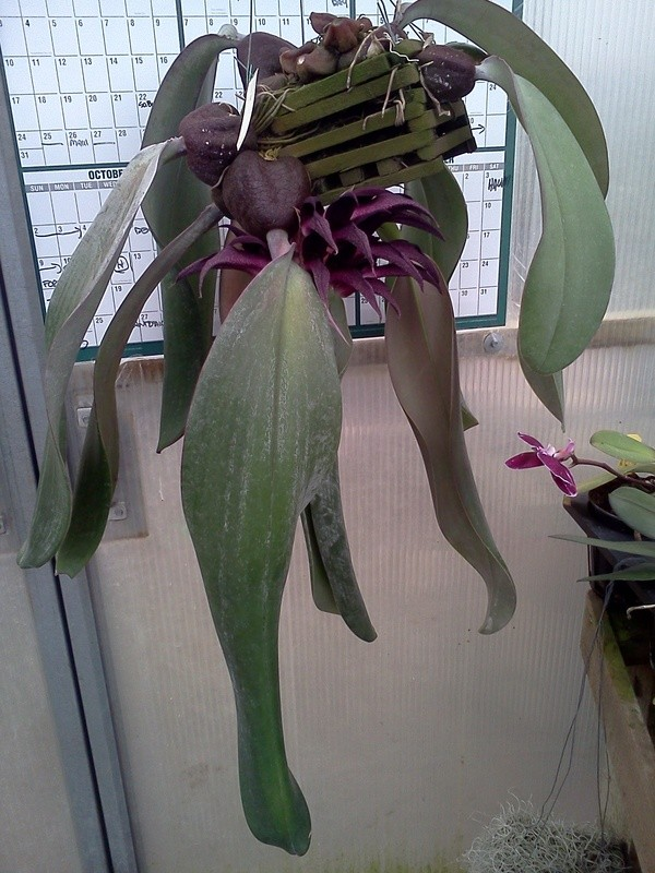 bulbophyllum-fletcherianum-5