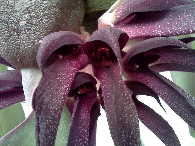 bulbophyllum-fletcherianum-7