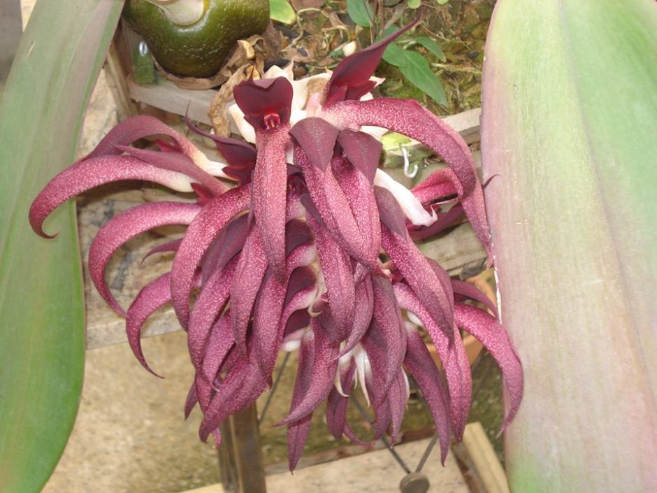 bulbophyllum-fletcherianum-8