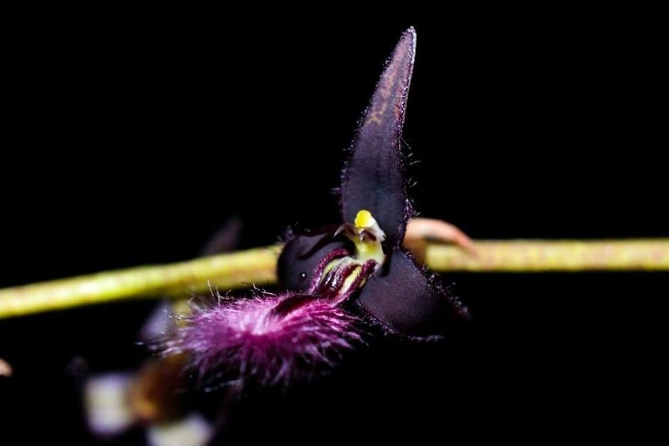 bulbophyllum-saltatorium-var-albociliatum-5