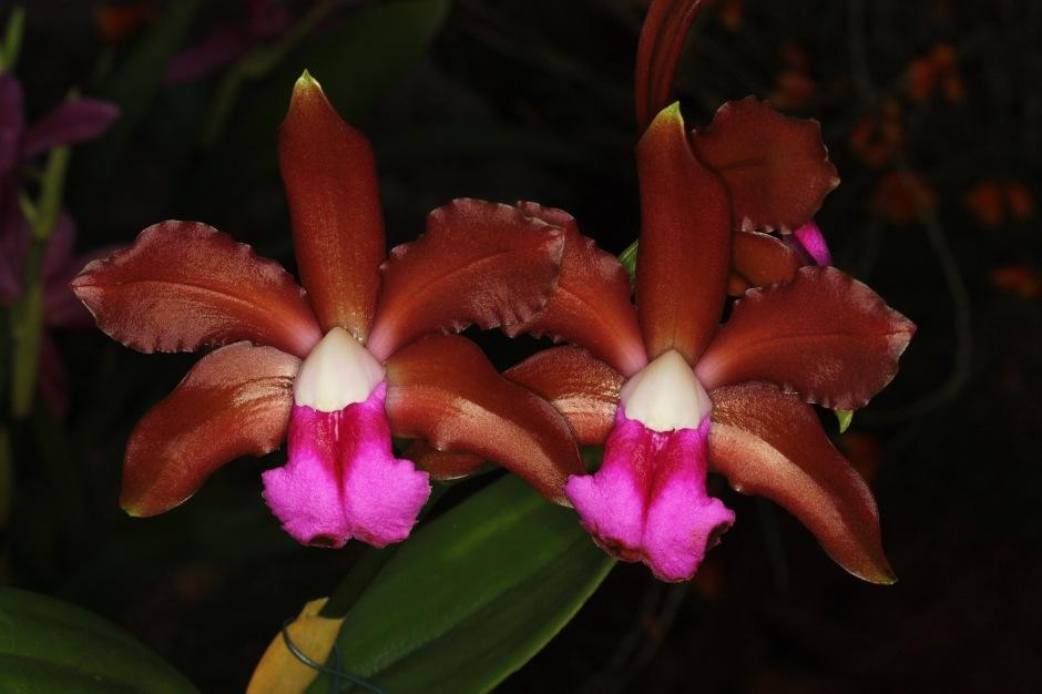 cattleya-bicolor-4