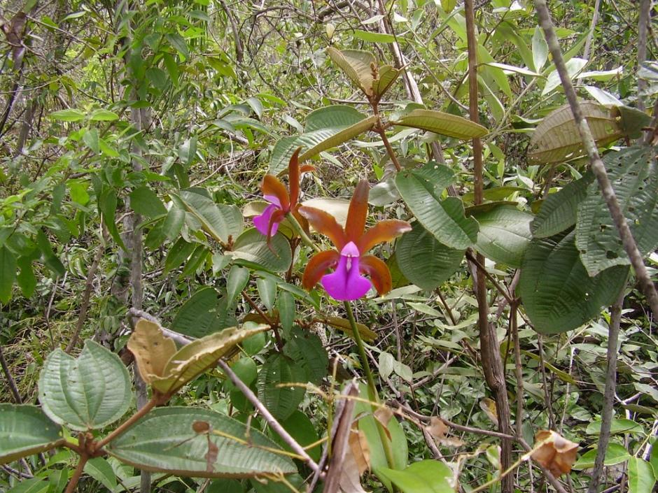 cattleya-bicolor-5