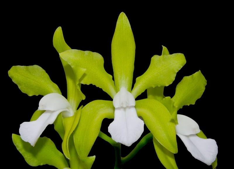 cattleya-bicolor-var-alba-2