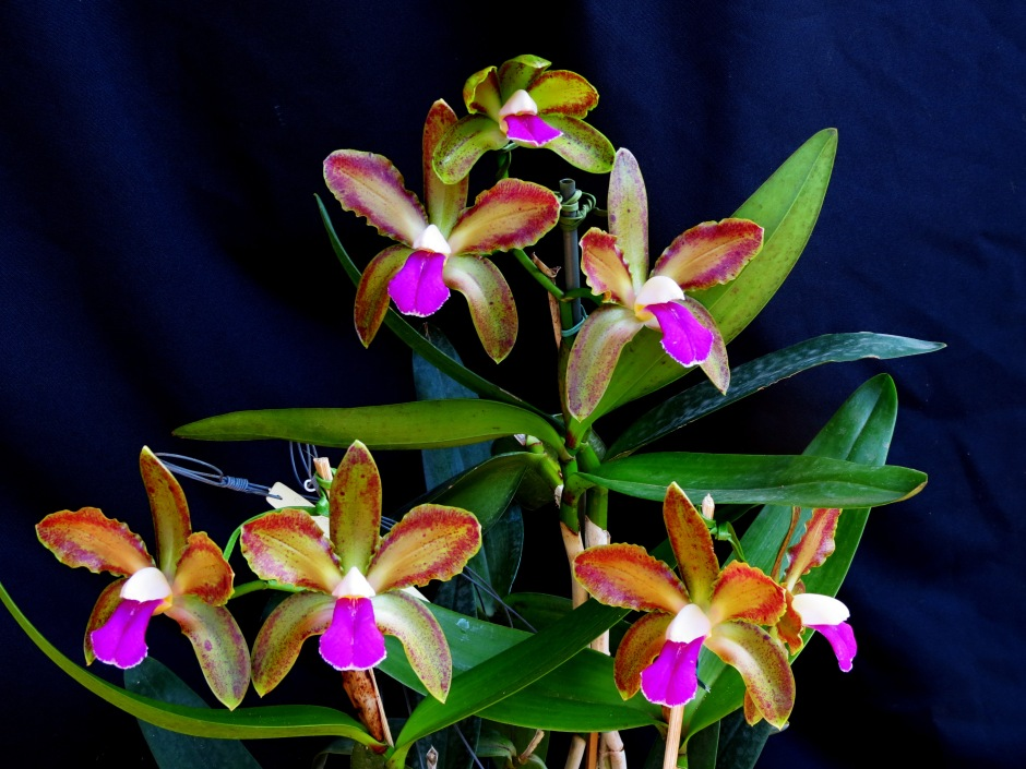 cattleya-bicolor-var-marginata