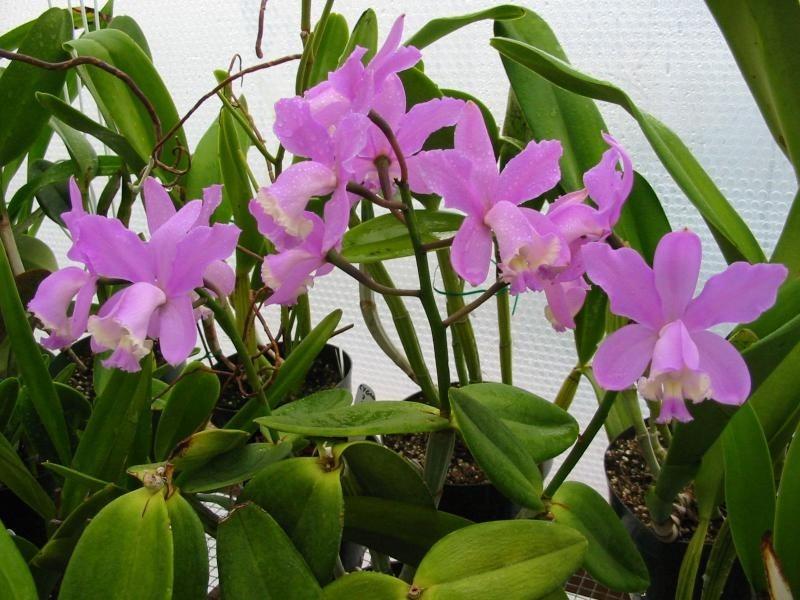 Cattleya loddigesii 3
