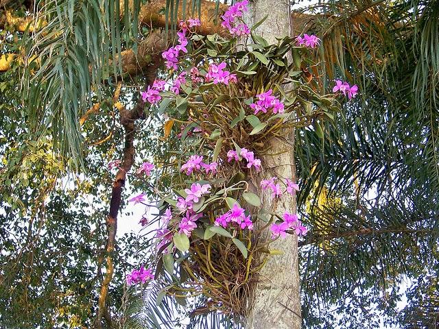 Cattleya loddigesii 4