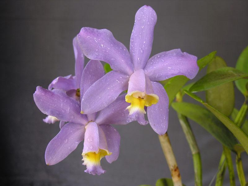 Cattleya loddigesii var. coerulea 1