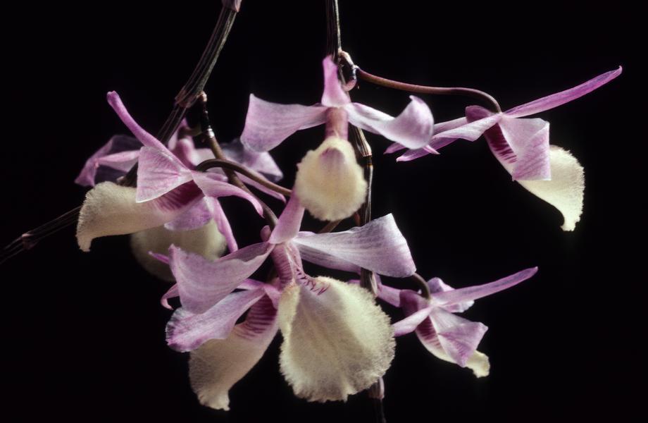 dendrobium-aphyllum-2