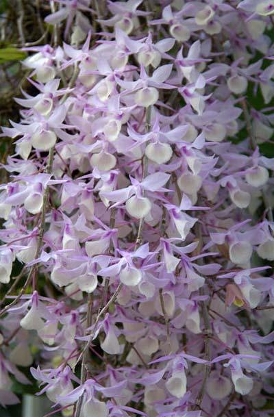 dendrobium-aphyllum-3