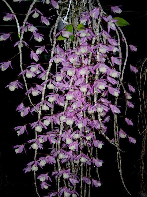 dendrobium-aphyllum-5