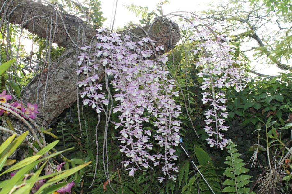 dendrobium-aphyllum-8