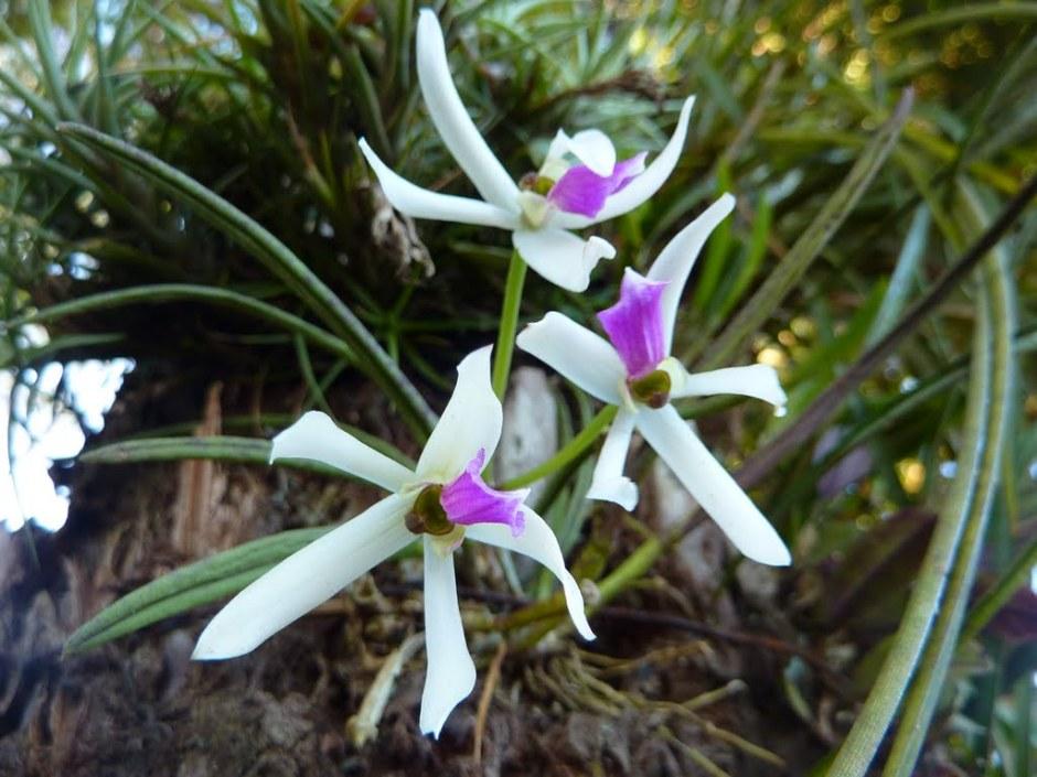 leptotes-bicolor-5