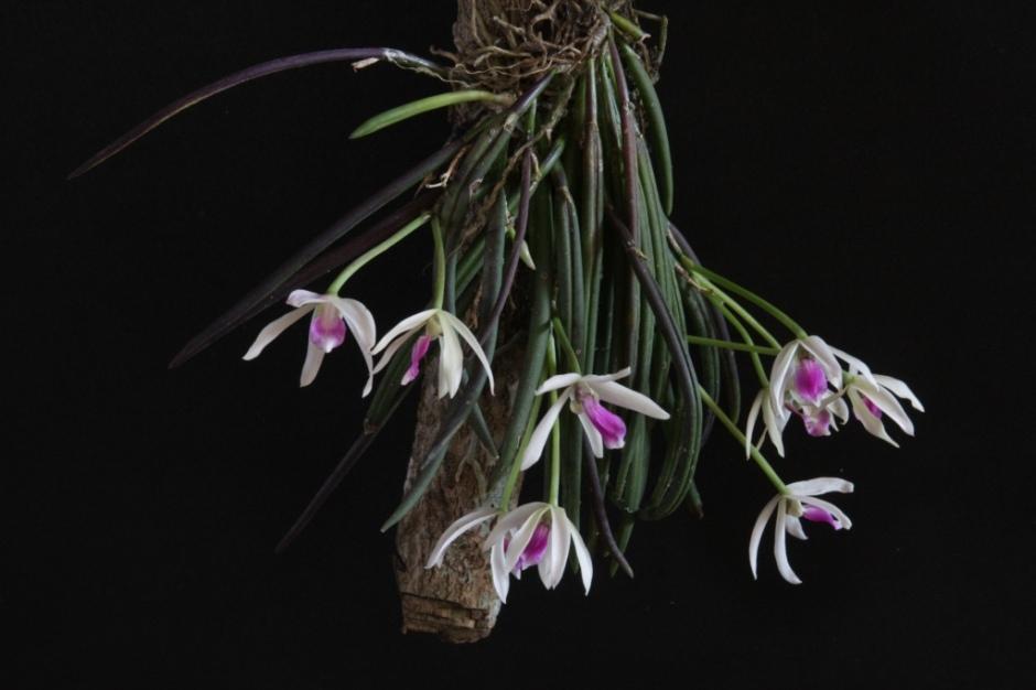 leptotes-bicolor-6