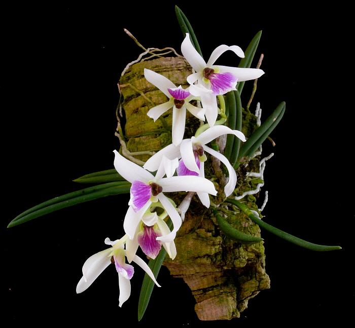 leptotes-bicolor-7