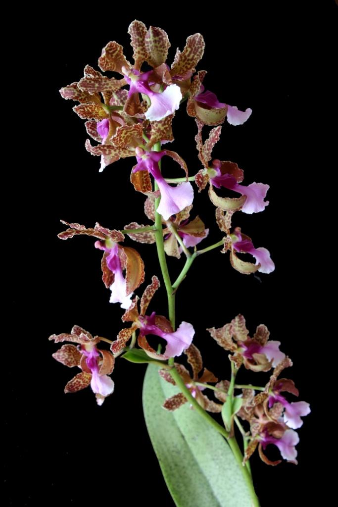 lophiaris-lanceana-5