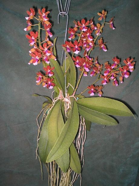 lophiaris-lanceana-8