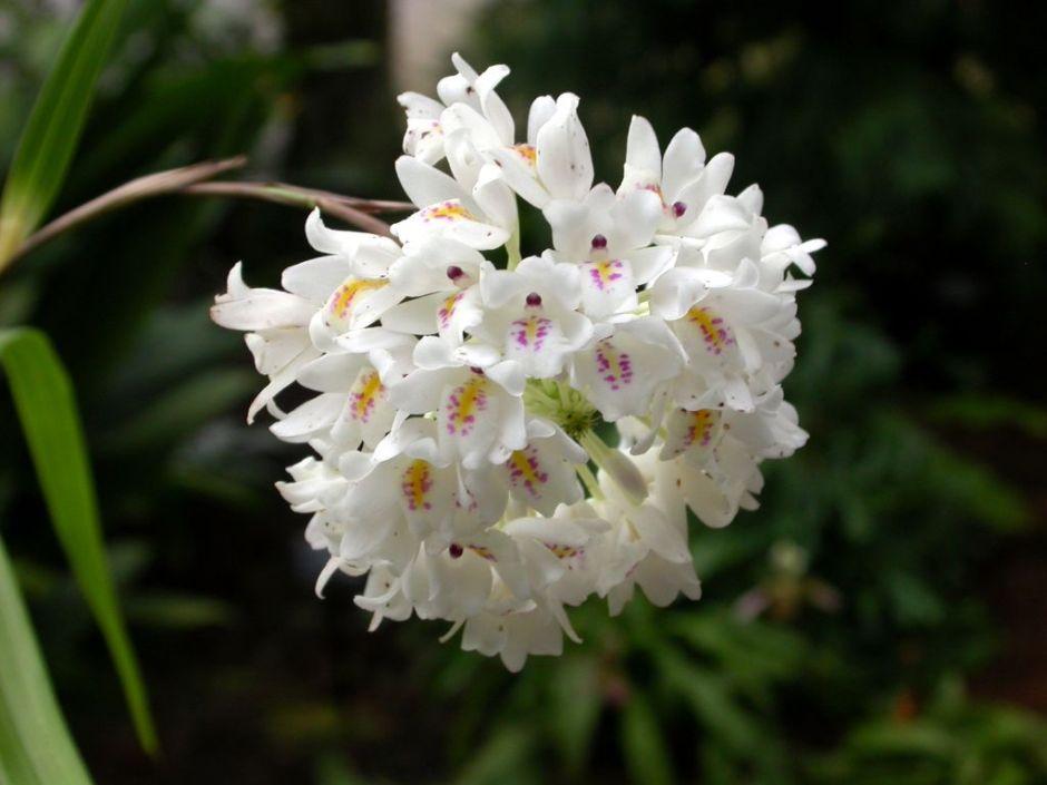 neobenthamia-gracilis-1