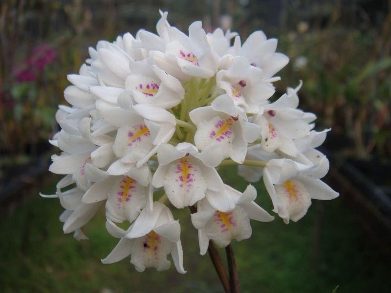 neobenthamia-gracilis-10