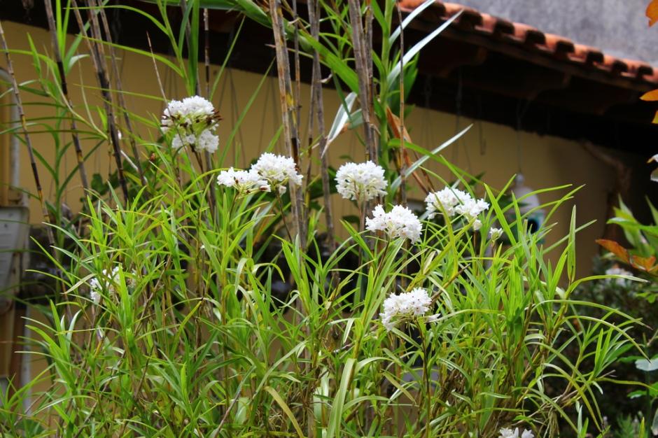 neobenthamia-gracilis-11