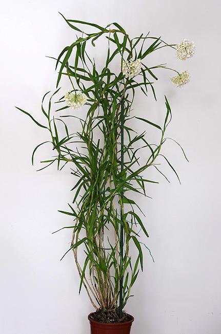 neobenthamia-gracilis-12