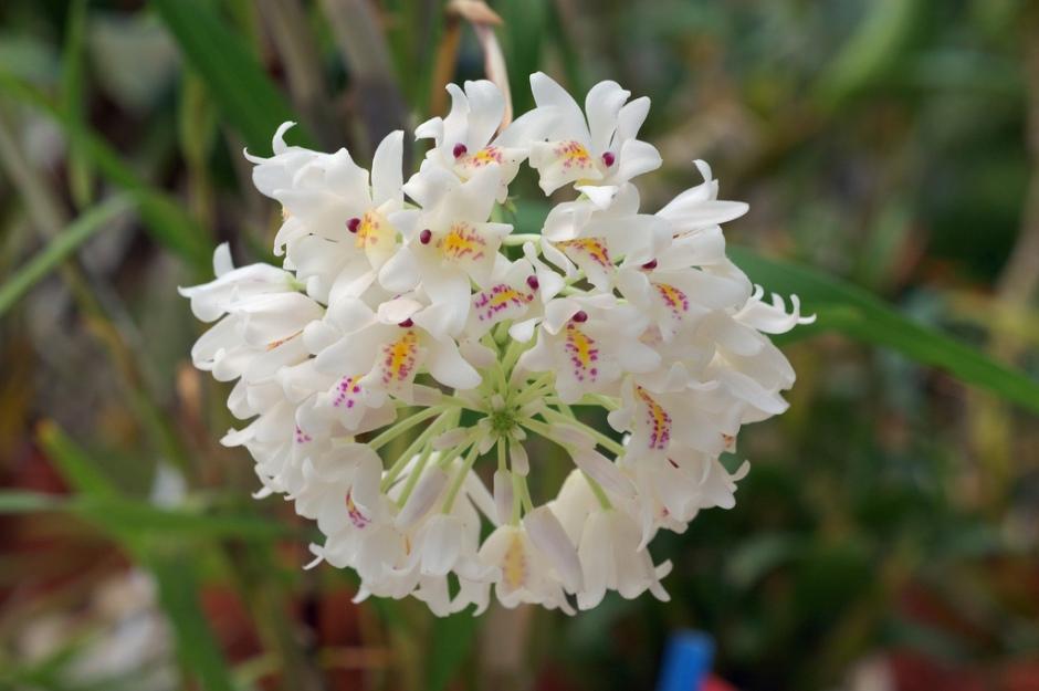 neobenthamia-gracilis-2
