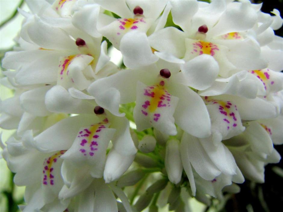 neobenthamia-gracilis-4