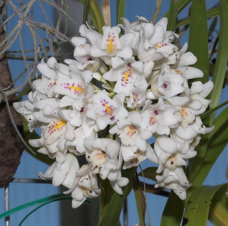 neobenthamia-gracilis-5