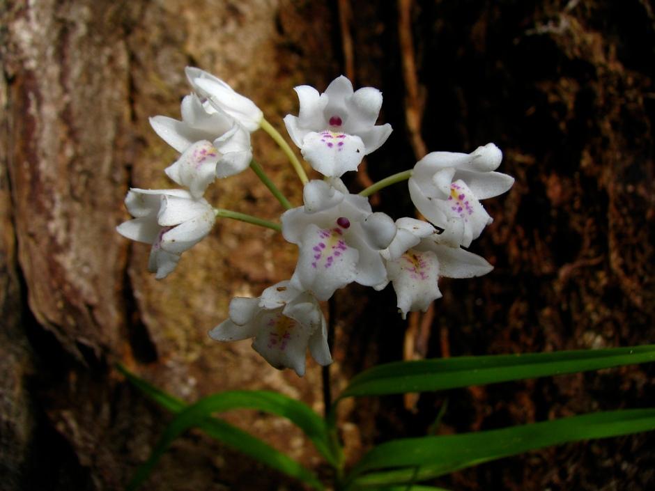 neobenthamia-gracilis-8