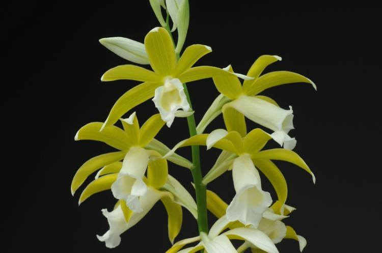 phaius-tankervilleae-var-alba-2