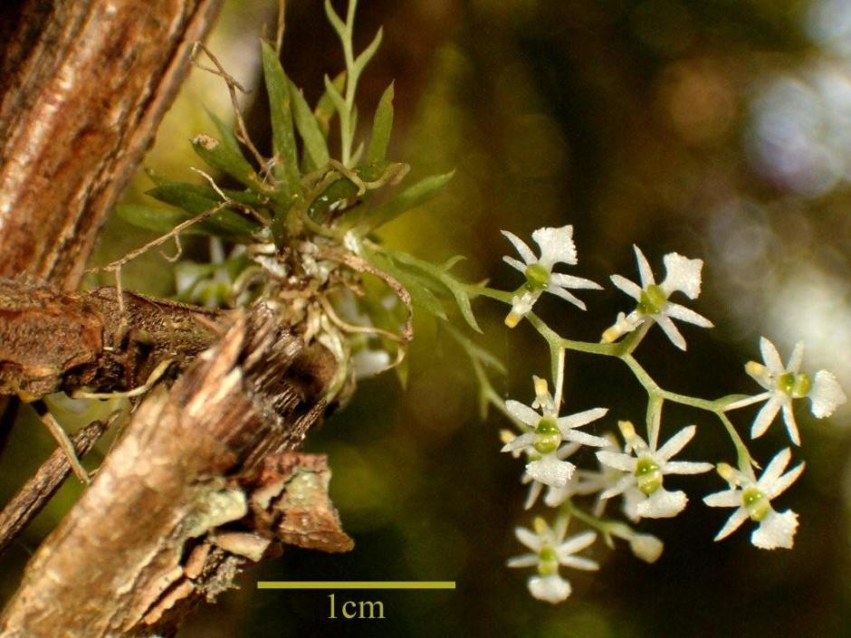 Phymatidium delicatulum 1