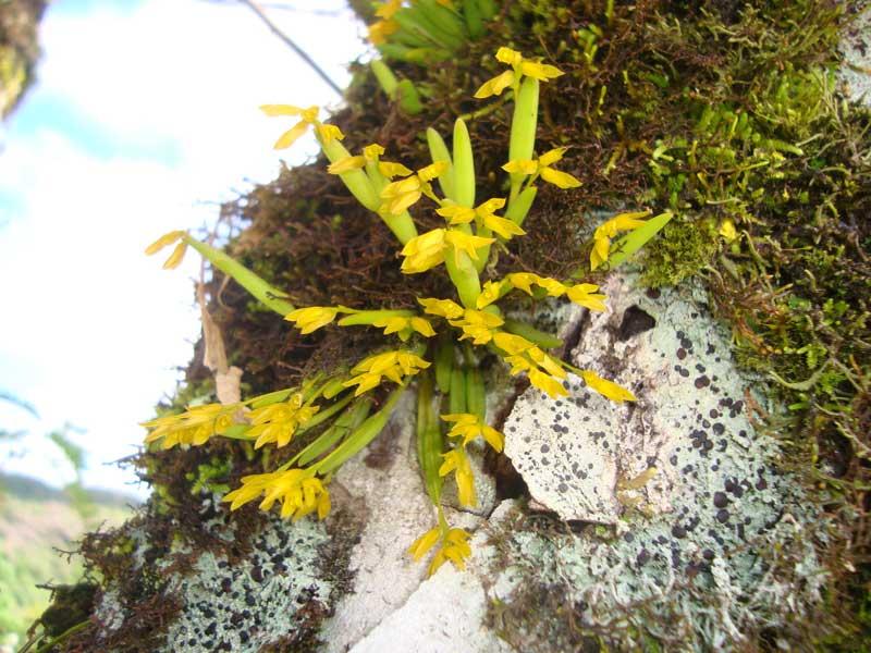 pleurothallis-sonderana-5