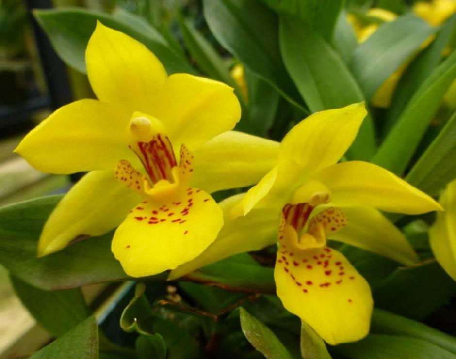 promenaea-xanthina-2