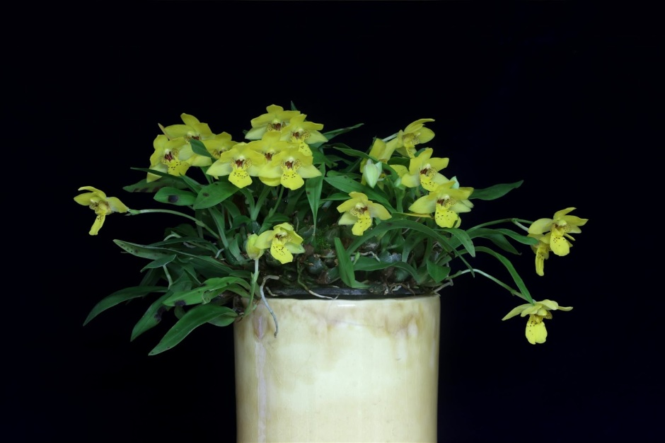 promenaea-xanthina-4