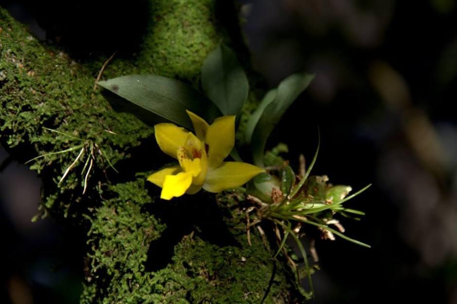 promenaea-xanthina-5