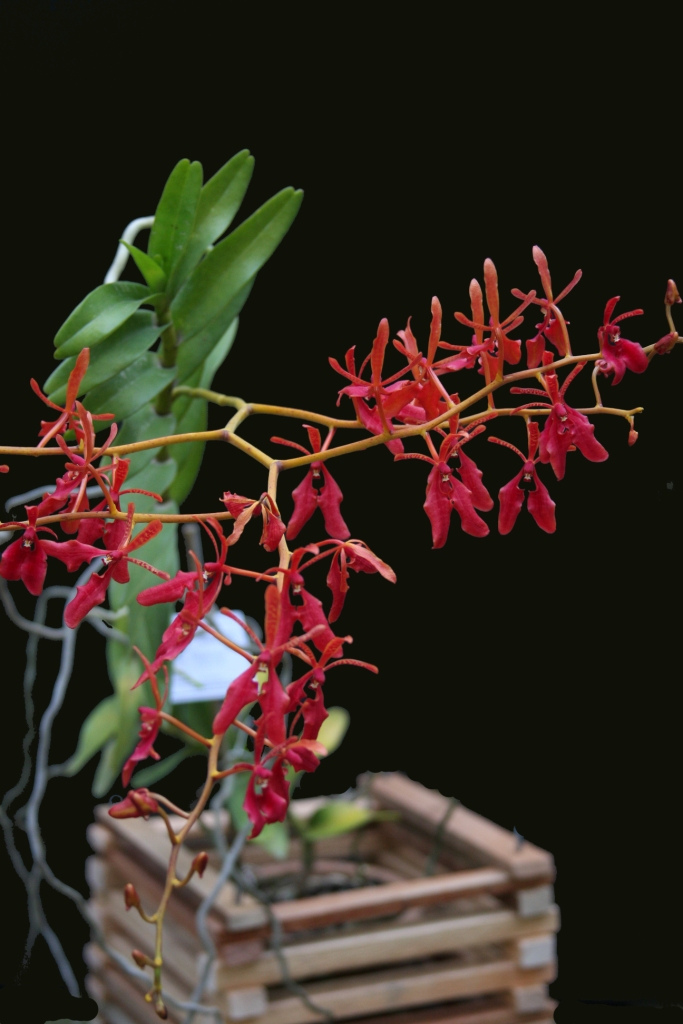 renanthera-coccinea-4